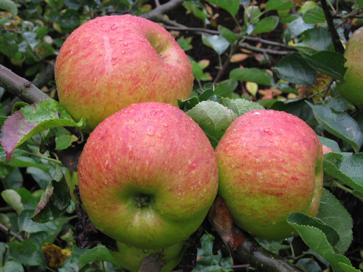 Bramley's_Seedling_Apples.jpg